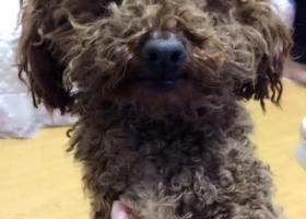 寻狗启示,青岛崂山张村捡到棕色泰迪公狗,它是一只非常可爱的宠物狗狗,希望它早日回家,不要变成流浪狗。