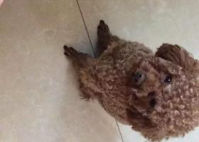 寻狗启示,寻江苏南京浦口棕色泰迪 公 2岁了,它是一只非常可爱的宠物狗狗,希望它早日回家,不要变成流浪狗。