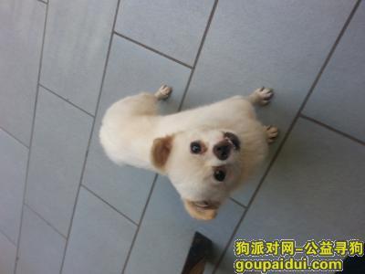 【成都找狗】,爱犬丢失,心急如焚!朵朵予我十分重要!!,它是一只非常可爱的宠物狗狗,希望它早日回家,不要变成流浪狗。