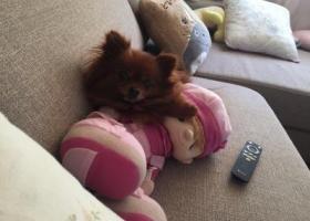 寻狗启示,博美女狗狗丢失,它是一只非常可爱的宠物狗狗,希望它早日回家,不要变成流浪狗。