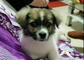 寻狗启示,安徽省除州市定远县池河镇,寻狗启示1,它是一只非常可爱的宠物狗狗,希望它早日回家,不要变成流浪狗。