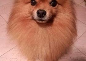 寻狗启示,寻9岁博美狗,后背有灰色杂毛,后腿微瘸,名叫皮皮,它是一只非常可爱的宠物狗狗,希望它早日回家,不要变成流浪狗。