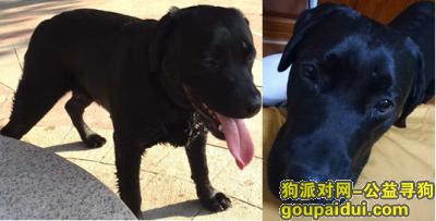 寻狗启示,寻找纯黑色拉布拉多公犬,它是一只非常可爱的宠物狗狗,希望它早日回家,不要变成流浪狗。
