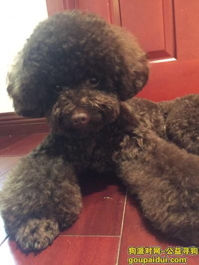 寻狗启示,南京市六合区大厂新华三村酬谢五千元寻找泰迪,它是一只非常可爱的宠物狗狗,希望它早日回家,不要变成流浪狗。
