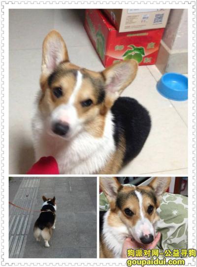 寻狗启示,柯基犬-周新苑东三期附近丢失,它是一只非常可爱的宠物狗狗,希望它早日回家,不要变成流浪狗。
