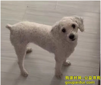 寻狗启示,海珠区保利红棉花园走失身穿超人衣服白色贵宾,它是一只非常可爱的宠物狗狗,希望它早日回家,不要变成流浪狗。