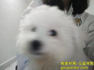 寻狗启示,四个月大的比熊  万象城附近走丢的!求帮忙找 非常感谢!我只是学生没那么多钱感谢  但是钱是会给的,它是一只非常可爱的宠物狗狗,希望它早日回家,不要变成流浪狗。