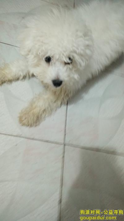 寻狗启示,四个月大的比熊 已经丢了六天了吧 叫小新,它是一只非常可爱的宠物狗狗,希望它早日回家,不要变成流浪狗。