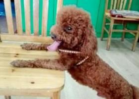 寻狗启示,在临泉县城关镇西顺河街丢失的公泰迪,它是一只非常可爱的宠物狗狗,希望它早日回家,不要变成流浪狗。