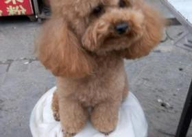 襄阳寻狗,公泰迪,3岁。