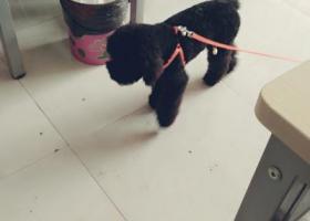 寻狗启示,寻找九个月大的黑色贵宾,它是一只非常可爱的宠物狗狗,希望它早日回家,不要变成流浪狗。