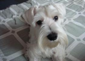 寻找爱犬一只白色雪纳瑞