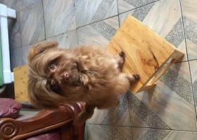 寻狗启示,棕色混血宝贝,想你了,它是一只非常可爱的宠物狗狗,希望它早日回家,不要变成流浪狗。