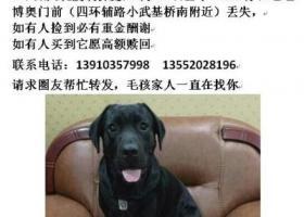 寻狗启示,寻爱犬拉布拉多 17年3月12日上午10点在北京朝阳小武基桥南丢失 愿酬谢1万,它是一只非常可爱的宠物狗狗,希望它早日回家,不要变成流浪狗。