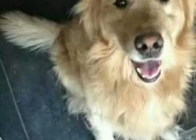 寻狗启示,东河区寻金毛狗,拜托拜托拜托拜托了真的拜托了,它是一只非常可爱的宠物狗狗,希望它早日回家,不要变成流浪狗。