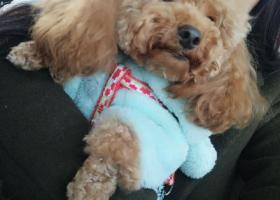 寻狗启示,5000现金寻长尾巴泰迪!!?!,它是一只非常可爱的宠物狗狗,希望它早日回家,不要变成流浪狗。