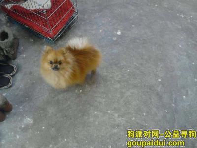 寻狗启示,寻找浅棕色博美,名为金扇,3月14号凌晨3:00丢失,它是一只非常可爱的宠物狗狗,希望它早日回家,不要变成流浪狗。