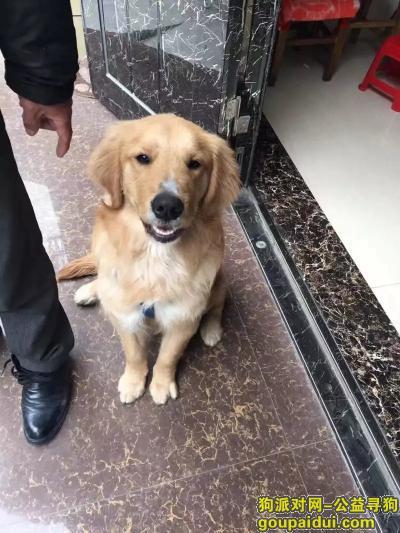 ,嘴上白色的金毛,潜江城区走丢,它是一只非常可爱的宠物狗狗,希望它早日回家,不要变成流浪狗。