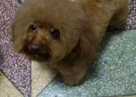 宿州寻找红棕色泰迪小狗
