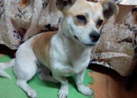 闵行区寻找一只黄白相间的小土狗,母,2017年3月7日丢失