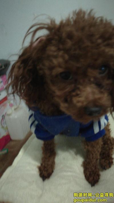 凉山找狗,寻小泰迪金四,金黄色,无尾,1岁左右公,它是一只非常可爱的宠物狗狗,希望它早日回家,不要变成流浪狗。