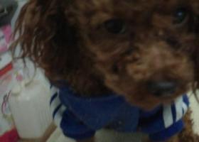 寻狗启示,寻小泰迪金四,金黄色,无尾,1岁左右公,它是一只非常可爱的宠物狗狗,希望它早日回家,不要变成流浪狗。