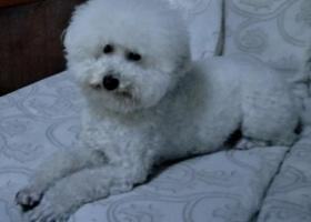 帮我找一下我的狗狗吧  白色的比熊