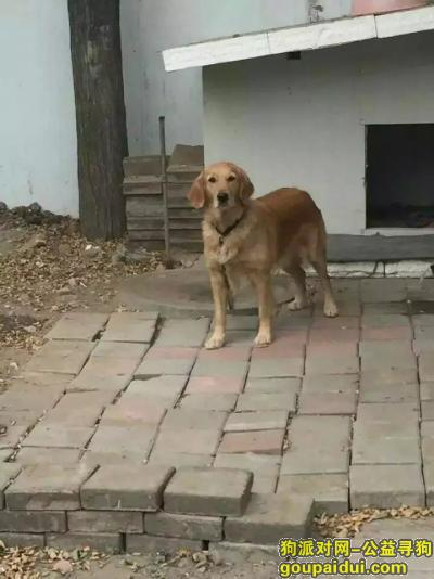 ,于宁夏石嘴山市大武口区胜利社区丢失金毛一只,它是一只非常可爱的宠物狗狗,希望它早日回家,不要变成流浪狗。