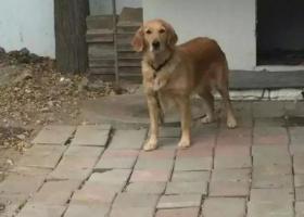 寻狗启示,于宁夏石嘴山市大武口区胜利社区丢失金毛一只,它是一只非常可爱的宠物狗狗,希望它早日回家,不要变成流浪狗。