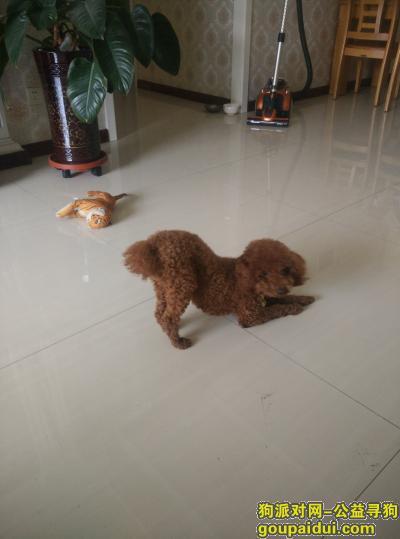 ,大武口腿长泰迪大众商城走丢,它是一只非常可爱的宠物狗狗,希望它早日回家,不要变成流浪狗。