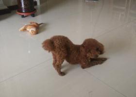 寻狗启示,大武口腿长泰迪大众商城走丢,它是一只非常可爱的宠物狗狗,希望它早日回家,不要变成流浪狗。