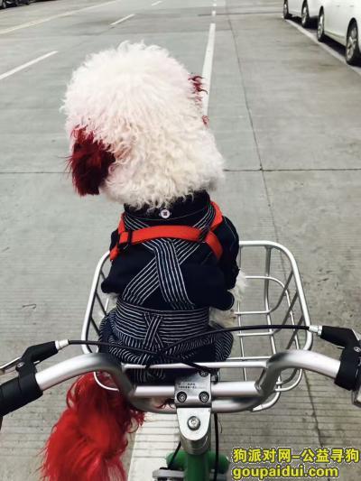 扬州捡到狗,在仪征解放东路的建设银行旁捡到一只红耳朵,红尾巴的白色泰迪,它是一只非常可爱的宠物狗狗,希望它早日回家,不要变成流浪狗。