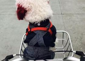 寻狗启示,在仪征解放东路的建设银行旁捡到一只红耳朵,红尾巴的白色泰迪,它是一只非常可爱的宠物狗狗,希望它早日回家,不要变成流浪狗。