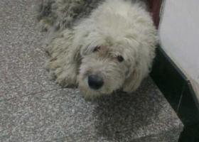 寻狗启示,家里古牧在武义白洋街道汤村走丢,怕被坏人抓走了,很着急,它是一只非常可爱的宠物狗狗,希望它早日回家,不要变成流浪狗。