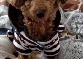 寻狗启示,寻找红贵泰迪   我的女儿,它是一只非常可爱的宠物狗狗,希望它早日回家,不要变成流浪狗。