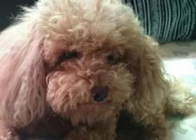 寻狗启示,淘淘九岁泰迪寻找在长江市场公园走丢,它是一只非常可爱的宠物狗狗,希望它早日回家,不要变成流浪狗。