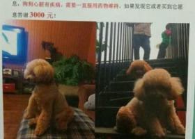 万元寻找香槟色泰迪狗在北京怀昌路附近走失