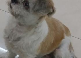 寻狗启示,寻找黄白相间色狗狗小白,它是一只非常可爱的宠物狗狗,希望它早日回家,不要变成流浪狗。
