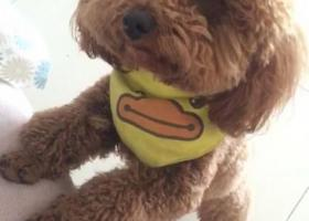 寻狗启示,寝食难安寻找泰迪儿子,它是一只非常可爱的宠物狗狗,希望它早日回家,不要变成流浪狗。