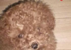 咸阳市渭城区新兴北路拾到泰迪幼犬一只