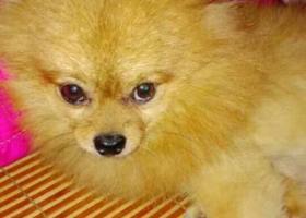 寻狗启示,寻找小狗乐乐,小型博美,金黄色,走失时有穿一件紫色带帽衣服。,它是一只非常可爱的宠物狗狗,希望它早日回家,不要变成流浪狗。