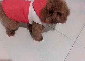 棕色泰迪犬大概一年了个子小小的走失在香河县钳屯乡西流庄村