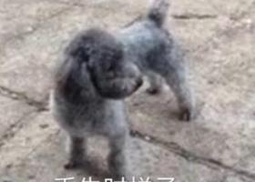 青岛 悬赏寻狗  灰色泰迪串  重金酬谢 狗不值钱,与我有很深的感情