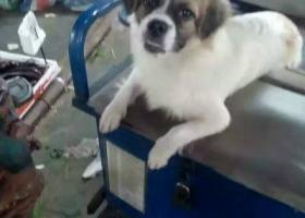 我家狗狗找赤岭绿杨鞋厂附近走丢