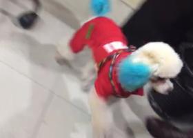 寻狗启示,寻找白色泰迪,耳朵尾巴染了蓝色,它是一只非常可爱的宠物狗狗,希望它早日回家,不要变成流浪狗。