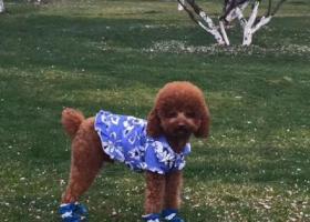 寻狗启示,3月29日阳光小区丢失爱宠棕色泰迪可可,身穿蓝色花休闲衣服,它是一只非常可爱的宠物狗狗,希望它早日回家,不要变成流浪狗。