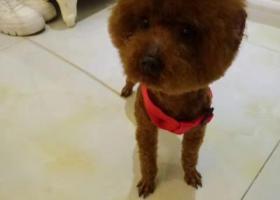 棕色泰迪狗在沈阳皇姑区中海寰宇天下天山路大桥附近丢了
