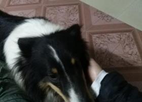 寻狗启示,晋江市磁灶陶东路小区附近早上6点左右捡到狗,它是一只非常可爱的宠物狗狗,希望它早日回家,不要变成流浪狗。