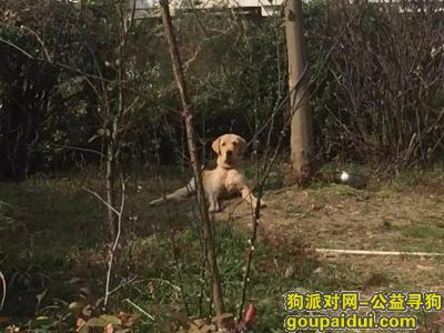 寻狗启示,寻找爱狗丢丢,是条大金毛,它是一只非常可爱的宠物狗狗,希望它早日回家,不要变成流浪狗。