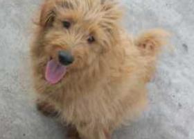 寻狗启示,棕色 幼犬 长毛 2017年4月新华路 圣荣广场那边的佳乐家附近,它是一只非常可爱的宠物狗狗,希望它早日回家,不要变成流浪狗。